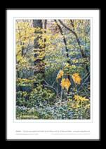 Ian Pethers print ~ Last Leaves