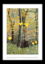Ian Pethers print ~ Autumn Sycamores