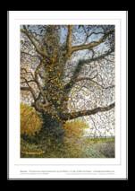 Ian Pethers print ~ Autumn Tree